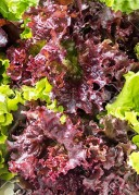 Red Coarl lettuce eng